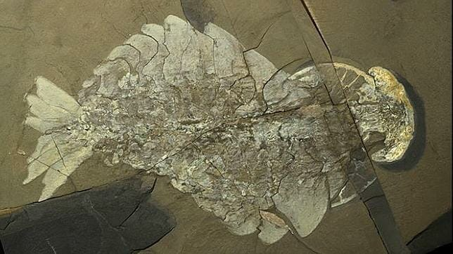 fosil anomalocaris anorith